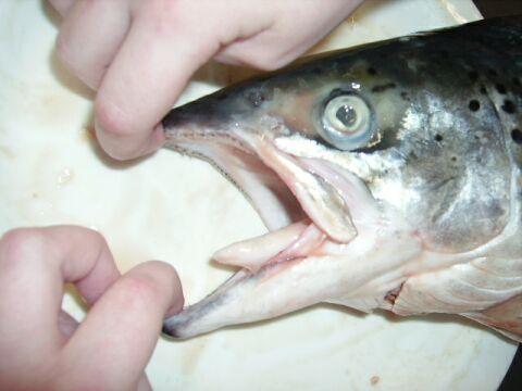 saumon2
