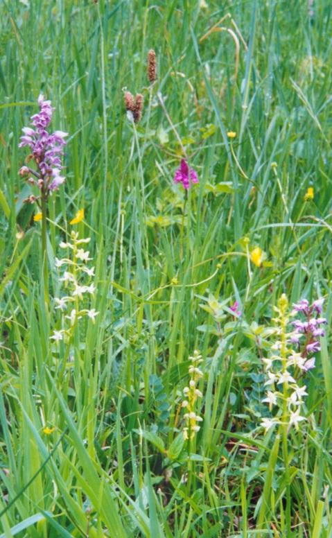 orchidées dans les champs...