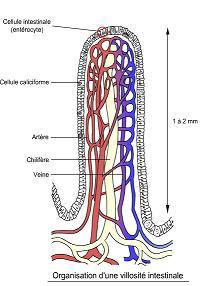 intestin cellules