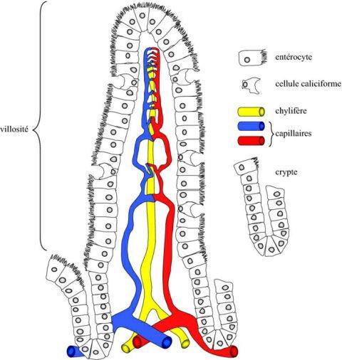 Villosité - capillaires
